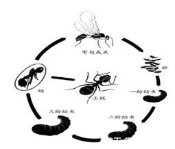 蚂蚁ant